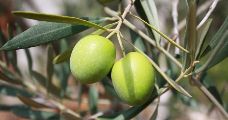 Rami d'ulivo benedetti a Pasqua, custodirli o buttarli?